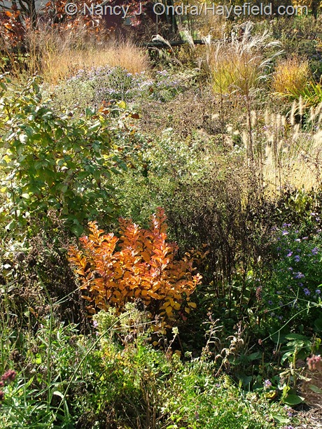 Spiraea betulifolia 'Tor' fall color at Hayefield