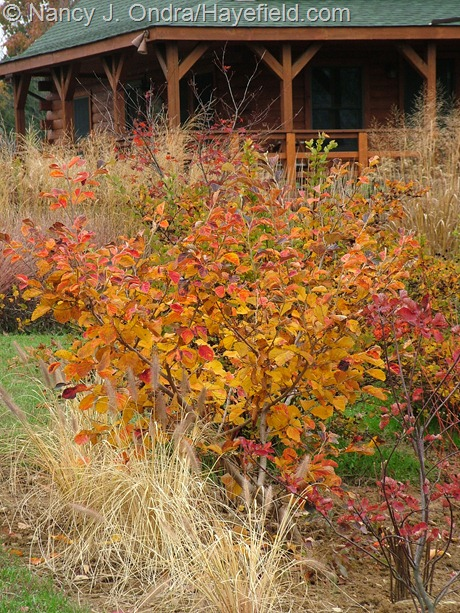 Hamamelis vernalis 'Washington Park' fall color at Hayefield