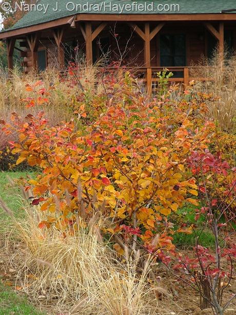 Hamamelis vernalis 'Washington Park' fall color at Hayefield