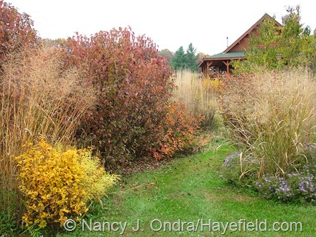 'Hummingbird' summersweet (Clethra alnifolia), arrowwood viburnum (Viburnum dentatum), and fragrant sumac (Rhus aromatica) with switch grasses (Panicum virgatum) at Hayefield
