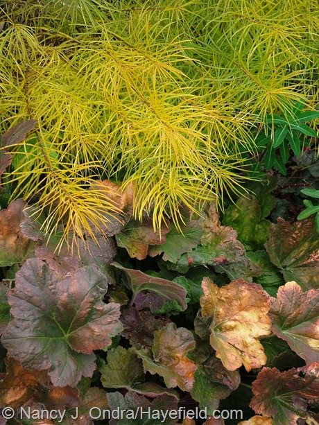 Amsonia hubrichtii with Heuchera 'Southern Comfort' at Hayefield