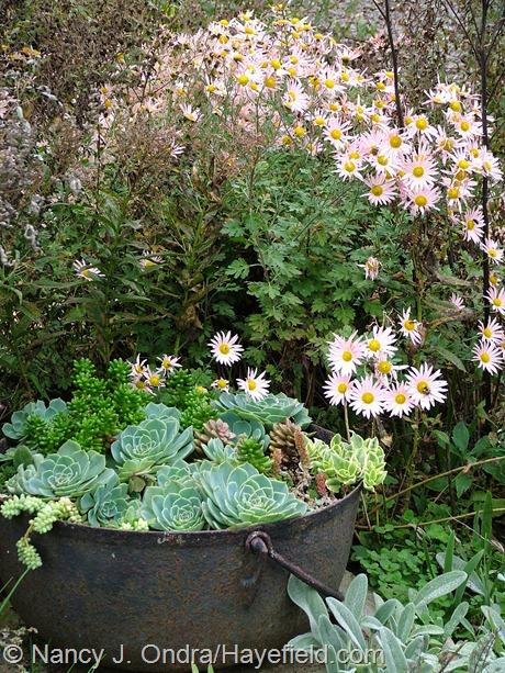 Chrysanthemum 'Sheffield Pink' and Echium glaucum in side garden at Hayefield