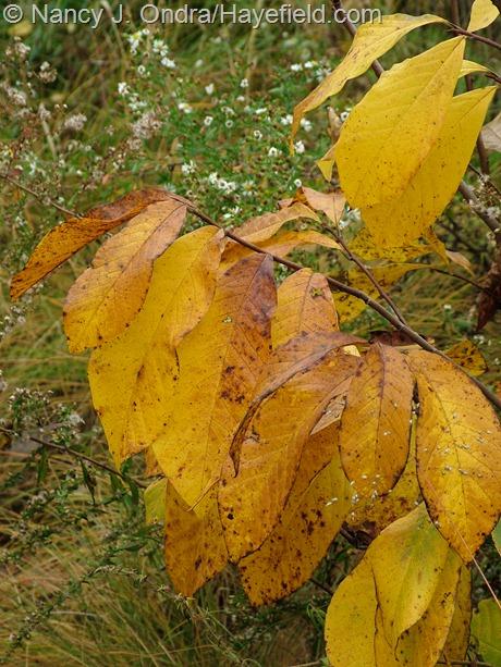 Asimina triloba fall color at Hayefield