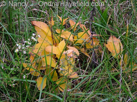 Fall-colored woodies in the meadow at Hayefield