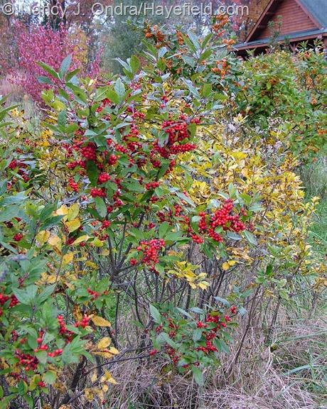 Ilex verticillata cvs in fruit and fall color at Hayefield
