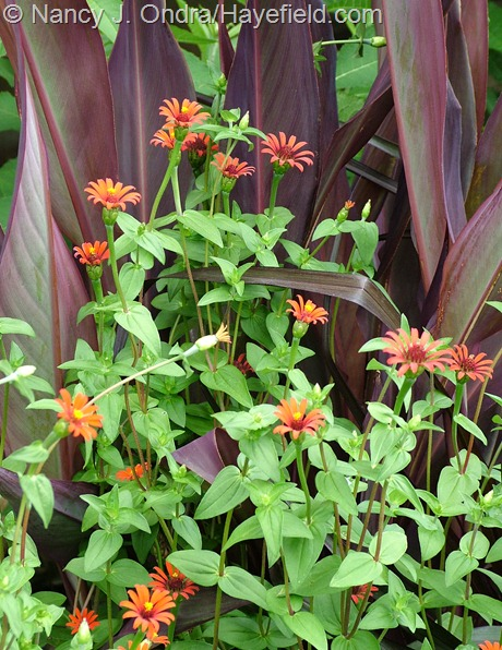Zinnia tenuifolia 'Red Spider' with Canna 'Intrigue' at Hayefield