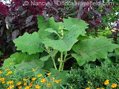 Solanum quitoense