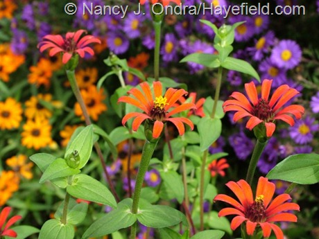 Zinnia tenuifolia 'Red Spider' at Hayefield