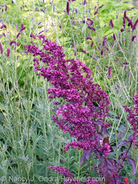 Atriplex hortensis 'Rubra' seedhead at Hayefield