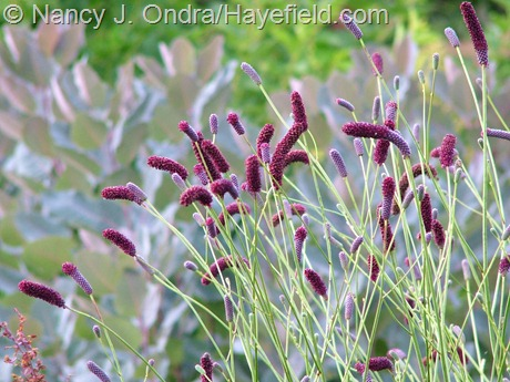 Sanguisorba tenuifolia 'Purpurea' at Hayefield