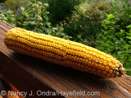 Zea mays 'Old Gold' on the cob at Hayefield