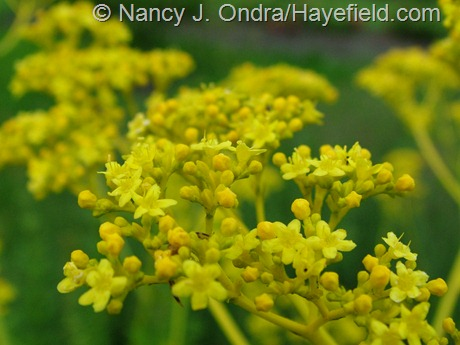 Patrinia scabiosifolia at Hayefield