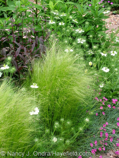 Stipa tenuissima with Nigella 'Cramers' Plum' and Penstemon 'Dark Towers' at Hayefield
