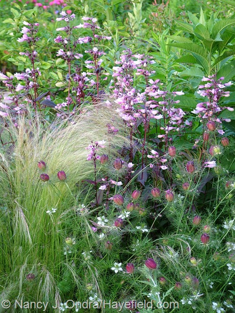 Nigella damascena 'Cramers' Plum' with Stipa tenuissima and Penstemon 'Dark Towers' at Hayefield