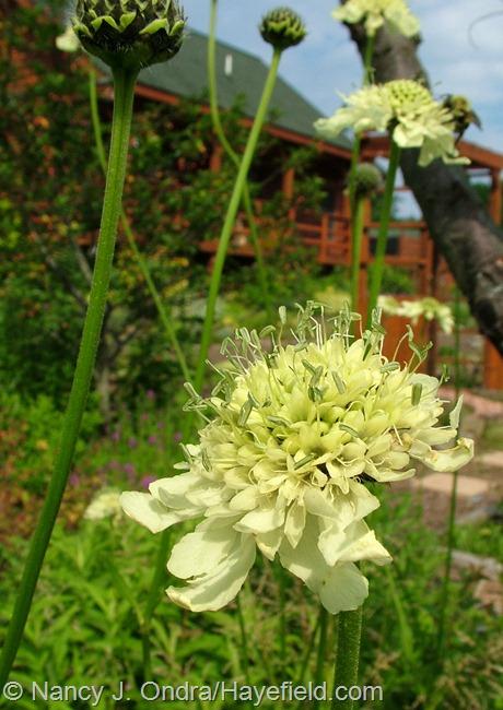 Cephalaria gigantea at Hayefield