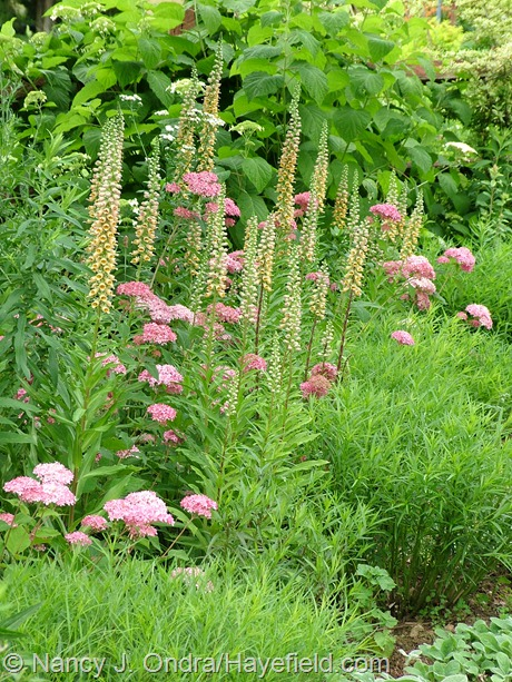 Digitalis ferruginea with Hydrangea arborescens 'NCHA1' (Invincibelle Spirit) and Amsonia at Hayefield