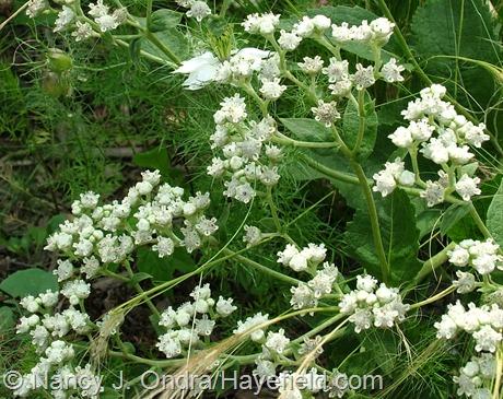 Parthenium integrifolium at Hayefield