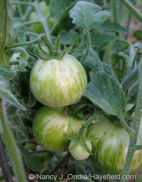Tomato 'Velue Striee' at Hayefield