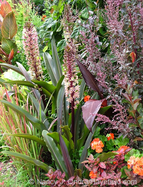 Eucomis comosa 'Oakhurst' with Imperata cylindrica 'Rubra' and Atriplex hortensis 'Rubra' at Hayefield