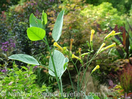 Nicotiana glauca at Hayefield
