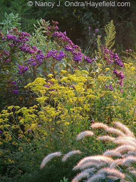 Patrinia scabiosifolia with Vernonia noveboracensis and Pennisetum alopecuroides at Hayefield