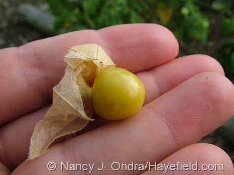 Ground cherry at Hayefield