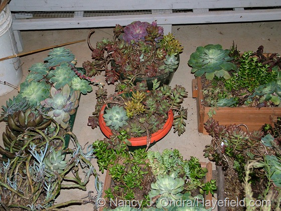Tender succulents in winter storage at Hayefield