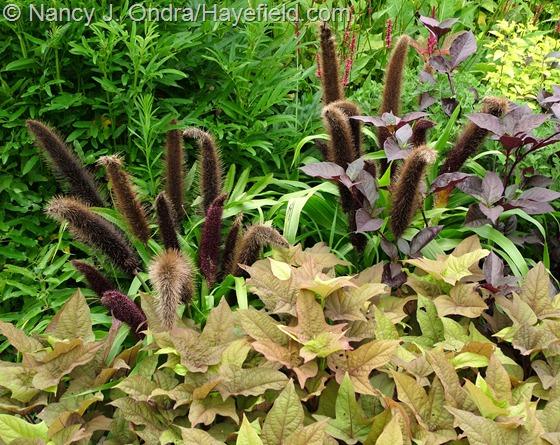 Ipomoea batatas 'Sweet Georgia Bronze' with Pennisetum glaucum 'Jade Princess' at Hayefield