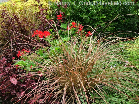 Carex tenuiculmis 'Cappuccino' with Veronica 'Georgia Blue', Hypoestes 'Red Splash Select' and Pelargonium