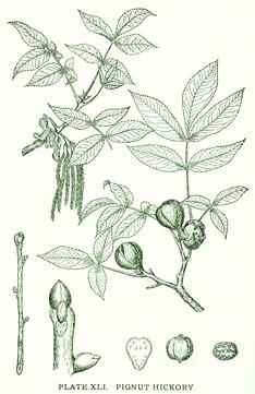 Carya porcina (C. glabra)