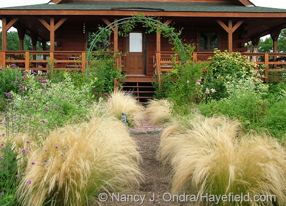 Stipa tenuissima in mid-July at Hayefield