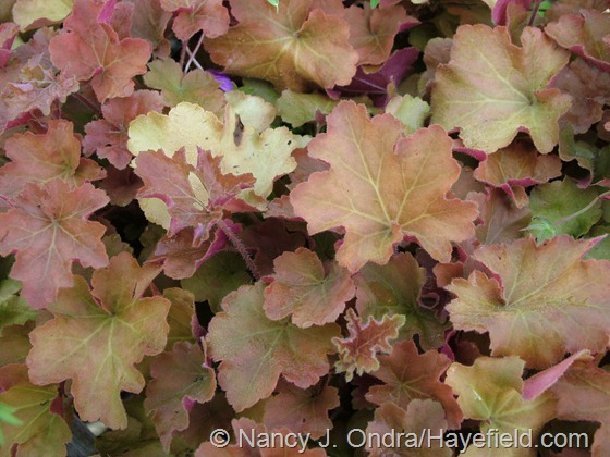 Heuchera villosa Caramel late July 05