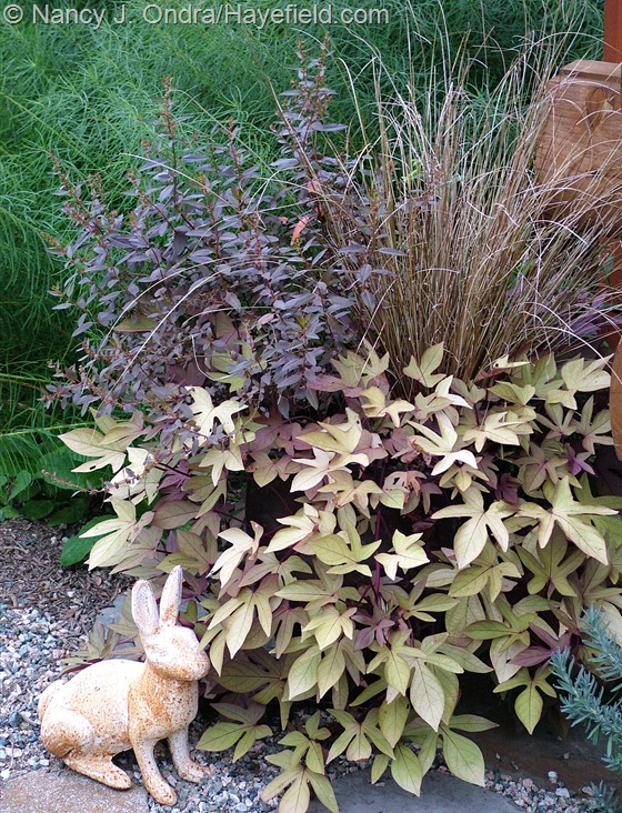 Ipomoea batatas 'Sweet Caroline Bronze' with Haloragis erecta 'Wellington Bronze' and Carex buchananii at Hayefield