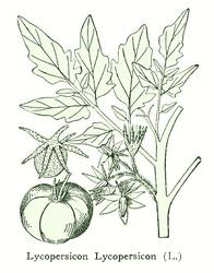 Lycopersicon
