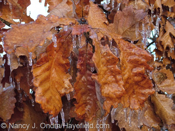 Quercus dentata in mid-December at Hayefield
