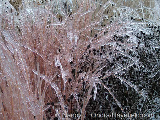Schizachyrium scoparium 'The Blues' and Rudbeckia fulgida seedheads encased in ice at Hayefield
