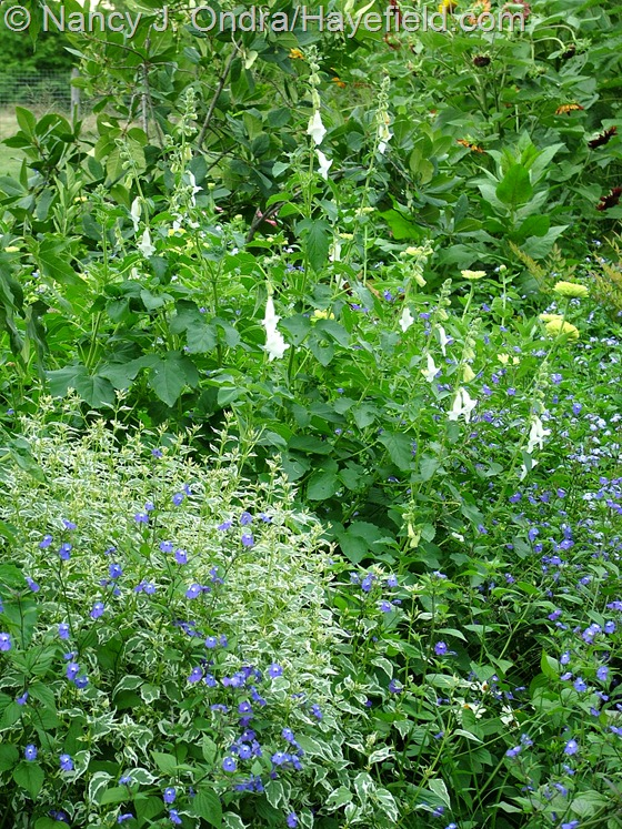 South African foxglove (Ceratotheca triloba 'Alba'), variegated 'Snow Fairy' bluebeard (Caryopteris divaricata), and amethyst flower (Browallia americana)