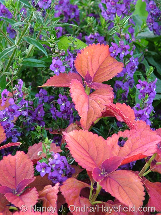'Sedona' coleus with 'Angelface Blue' angelonia