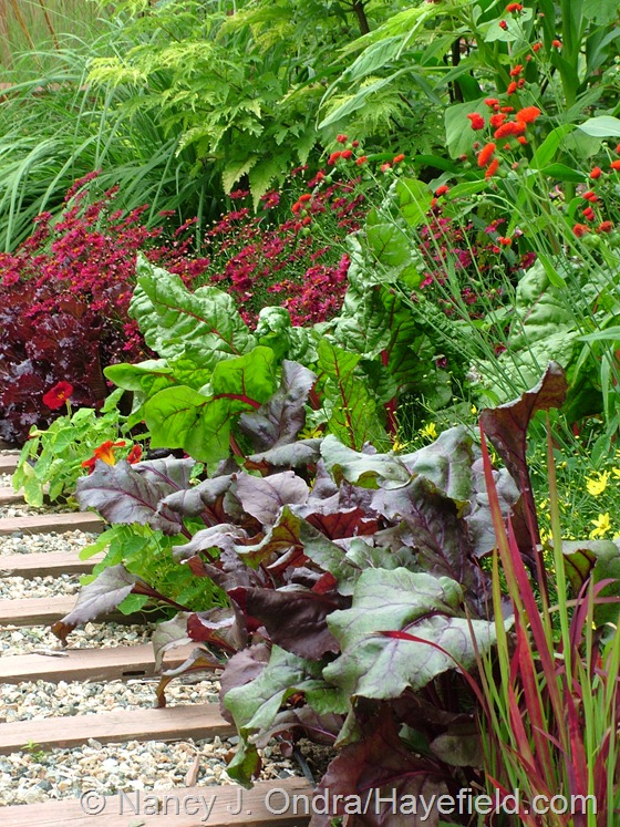 'Bull's Blood' beets, a red-stemmed 'Bright Lights' Swiss chard, scarlet tassel flower (Emilia javanica), and 'Limerock Ruby' coreopsis at Hayefield