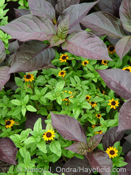 Alternanthera dentata 'Purple Knight' with 'Mandarin Orange' creeping zinnia (Sanvitalia procumbens) at Hayefield