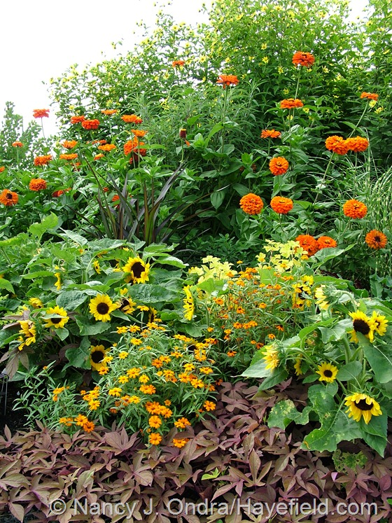 'Sweet Caroline Bronze' sweet potato vine (Ipomoea batatas), narrow-leaved zinnia (Zinnia angustifolia), 'Sunny Smile' sunflower (Helianthus annuus), 'Princess' fountain grass (Pennisetum purpureum), and 'Aztec Orange' zinnia (Z. elegans)