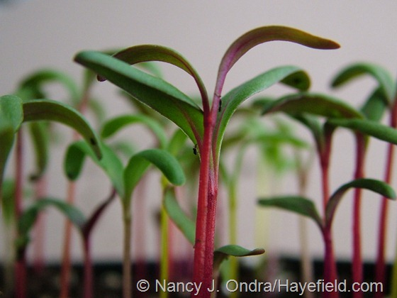 Seedlings of 'Bright Lights' chard at Hayefield