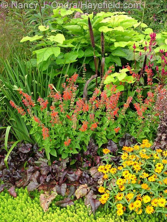 'Angelina' sedum, 'Bull's Blood' beet, 'Profusion Orange' zinnia, 'Lady in Red' Texas or hummingbird sage (Salvia coccinea), the summer foliage of 'Gerald Darby' iris, 'Jester' millet (Pennisetum glaucum), and golden catalpa (Catalpa bignonioides 'Aurea') at Hayefield
