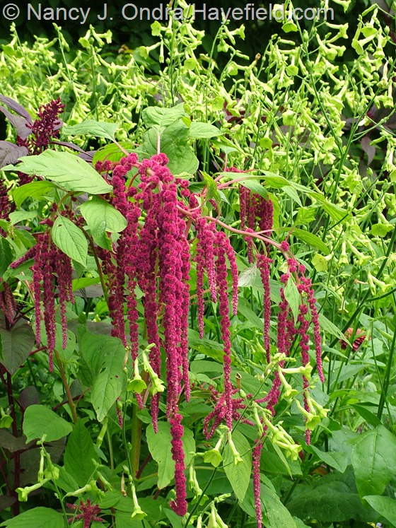 Amaranthus caudatus and Nicotiana 'Ondra's Green Mix' at Hayefield