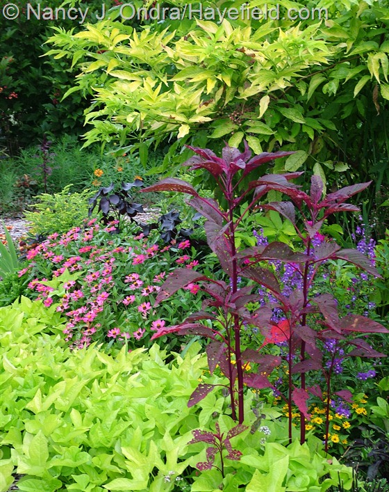 'Sweet Caroline Light Green' sweet potato vine (Ipomoea batatas), 'Hopi Red Dye' amaranth (Amaranthus), 'Profusion Cherry' zinnia, and golden elderberry (Sambucus nigra 'Aurea') at Hayefield