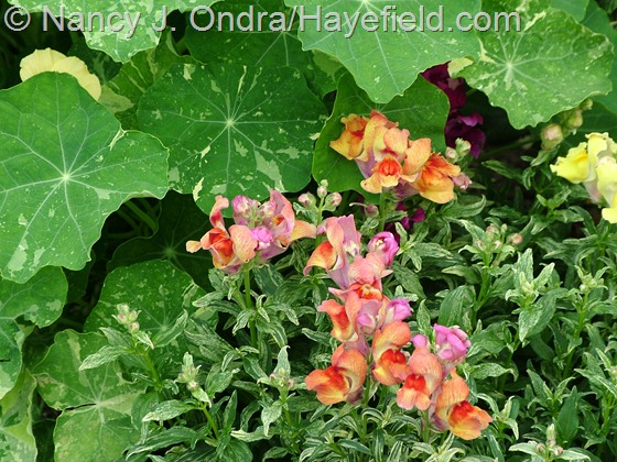 Antirrhinum majus 'Frosted Flames' with Tropaeolum majus 'Jewel of Africa' at Hayefield