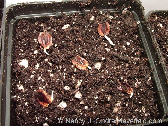 Sprouted seeds of 'Gat's Variegated' rhubarb at Hayefield