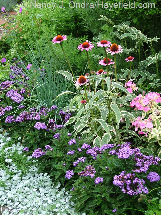 Heliotropium arborescens and Dichondra argentea 'Silver Falls' with chives (Allium schoenoprasum; not in bloom), 'Prairie Frost' purple coneflower (Echinacea purpurea), and 'Becky Towe' summer phlox (Phlox paniculata) at Hayefield