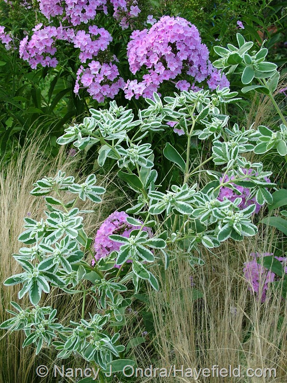 Euphorbia marginata with Stipa tenuissima and Phlox paniculata at Hayefield