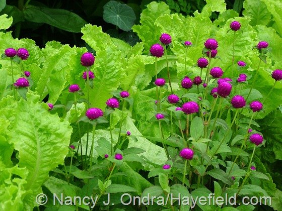 Gomphrena globosa 'Buddy' with 'Australian Yellow' lettuce at Hayefield